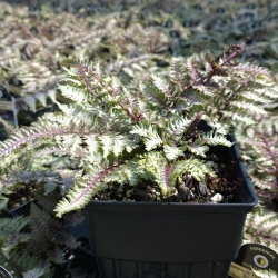 japanese-painted-fern-regal-red-quart