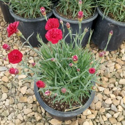 dianthus scent first passion_impact